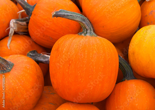 Close up on pile of small orange pumpkins, or bumkins,  freshly picked from the field.