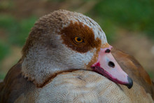 Egyptian Goose Looking All Sexy