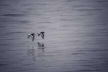 Tern Flying Over The Water At ...
