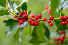 Twig Of Holly (Ilex Aquifolium...