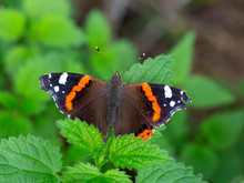 Red Admiral (Vanessa Atalanta) Resting On Leaves Of Nettle