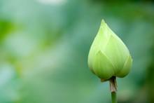 Lotus Bud Close Up