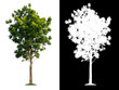 canvas print picture - Isolated single tree with clipping path and alpha channel on a white background. Big tree large image is easy to use and suitable for all types of art work and print.