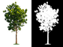 Isolated Single Tree With Clipping Path And Alpha Channel On A White Background. Big Tree Large Image Is Easy To Use And Suitable For All Types Of Art Work And Print.