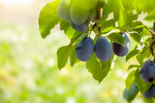 Ripe Fruits Of Plum Tree On A ...