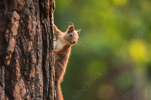 European red squirrel hanging on tree, clean green background, Czech republic, Europe
