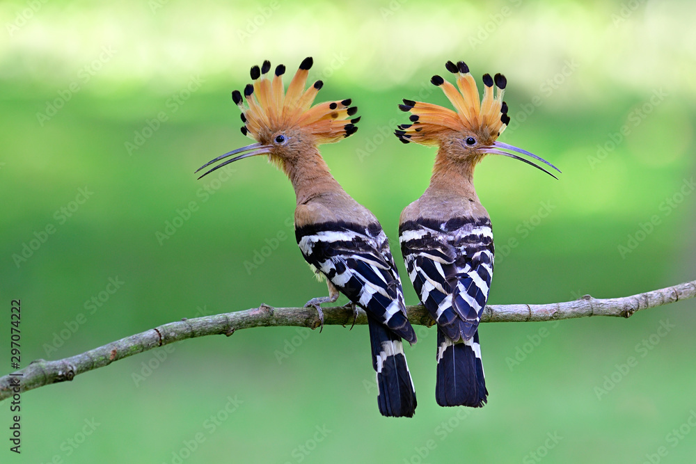 Fototapeta Eurasian or common hoopoe (Upupa epops) fascinated brown crested bird with white and black wings closely perching on thin branch over bright expose lighting on lawn yard, exotic nature