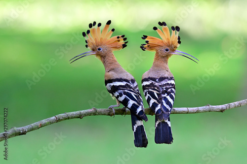 Photo Eurasian or common hoopoe (Upupa epops) fascinated brown crested bird with white