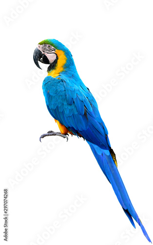 full body of blue-and-yellow or blue-and-gold macaw beautiful parrot isolated on Canvas Print