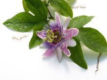 A Passion Flower On White