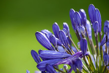 Buds Of A Blue Agapanthus In T...