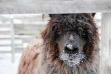 Portrait Of Brown Curly Lama On A Farm At Wintertime.