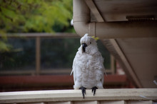 Sulphur-crested Cockatoo Hiding Under Roof On A Rainy Day. Urban Wildlife. Australian Backyard Visitors