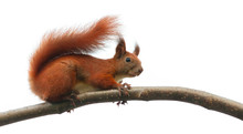 Squirrel Animal On Tree Branch...