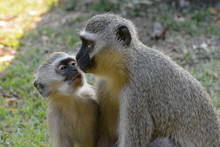 Two Monkeys Mother And Child Having A Loving Moment In The Wild