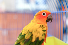 A Sun Conure Parrot In The Blu...