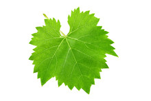 Fresh Green Leaf Of Grape Isolated On White Background.