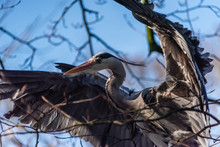 Great Blue Heron Or Ardea Herodias Ready For Taking Off With The Wings Spread Between The Branches Of A Tree Against A Blue Sky Background
