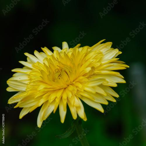 Common Dandelion square crop with dark background