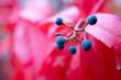 Rot gefärbte Blätter mit Beeren  im Herbst