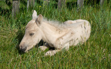 Sleeping Newborn Foal Lying In...