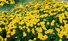 Flower Bed Of Yellow Chrysanth...