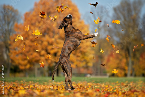 happy boxer dog jumping up catching falling leaves Canvas Print