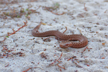 Poisonous Snake. The Viper Cra...