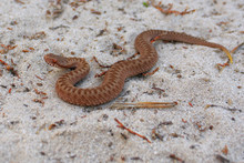 Poisonous Snake. The Viper Crawls On The Sand. Poison Viper. Snake Cub. Young Viper. Little Viper.