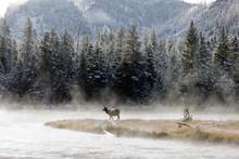 Wapiti Deer In Yellostone Nati...