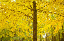 Ginkgo Biloba Yellow Leaf , In A Litle Bit In Green Color And Full Yellow Color In Fall Season, Leaves Of Ginkgo Biloba In Garden Autumn Time (gingko Tree, Maidenhair Tree),Japan.