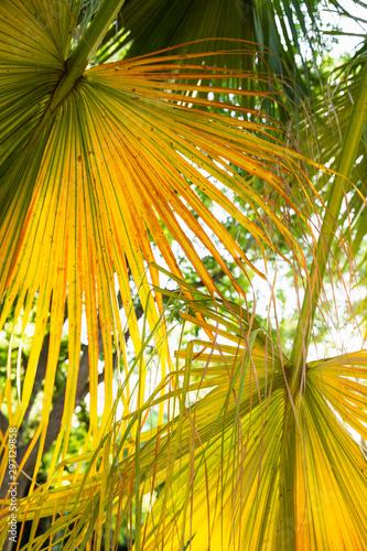 Natural backlight yellow green palm leaves close up Wall mural