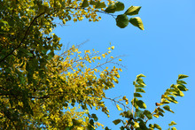 Autumn Time, A Beautiful Bright Green Mulberry Tree With Yellow Leaves Against A Bright Blue Sky And Sun.
