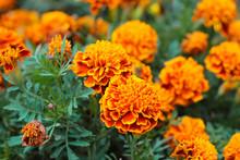 Orange Marigolds Aka Tagetes Erecta Flower On The Flowerbed