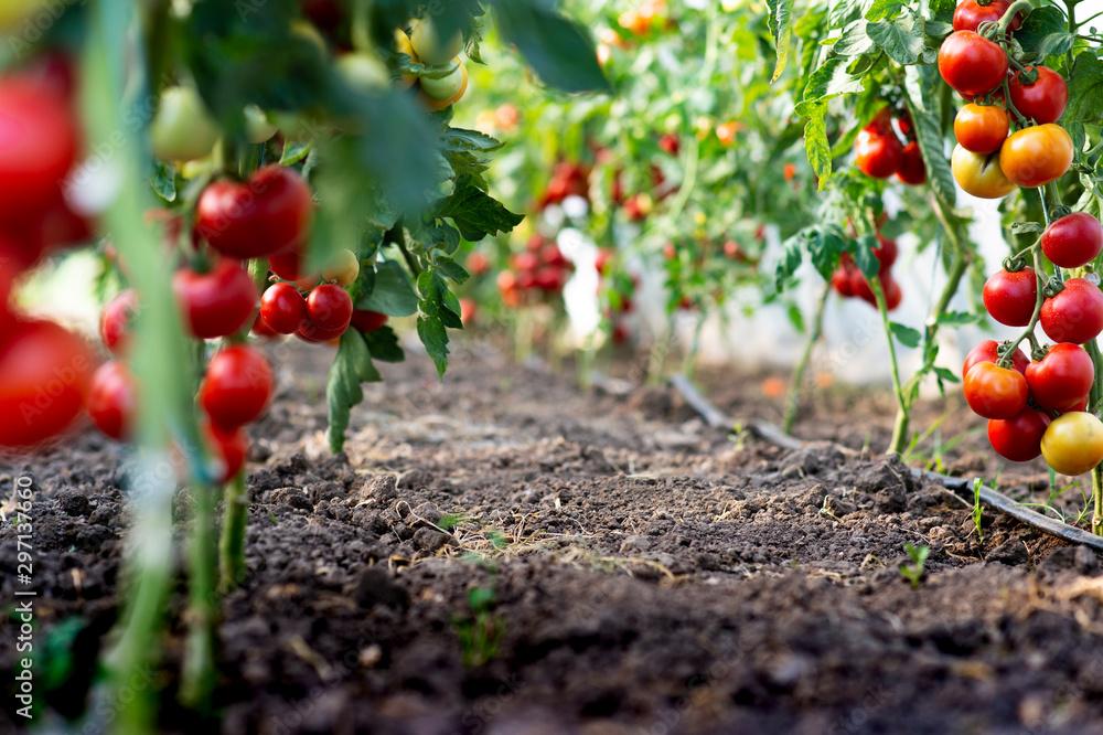 Fototapety, obrazy: Red tomato
