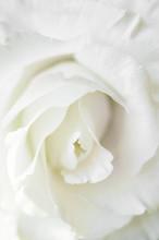 White Rose Flower On White Background. Close-up.