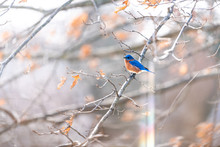 Rainbow Flare And One Blue Male Bluebird Bird Perched On Oak Tree During Winter Spring Autumn In Virginia With Vibrant Color
