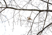 Low Angle View Of One House Sparrow Bird Perched On Bare Winter Tree Branch In Virginia With Cloudy Sky Singing Chirping