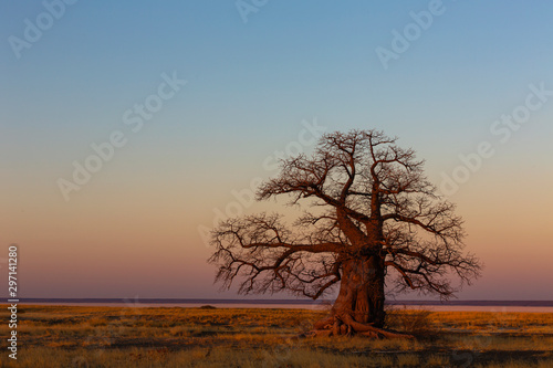 Large baobab tree after sunset Fototapeta