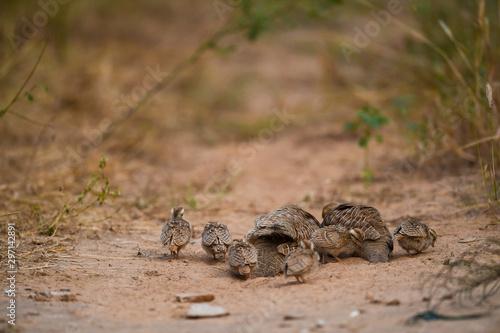 Stampa su Tela grey francolin or grey partridge or Francolinus pondicerianus family with chicks