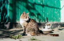 Beautiful Striped Domestic Cat...