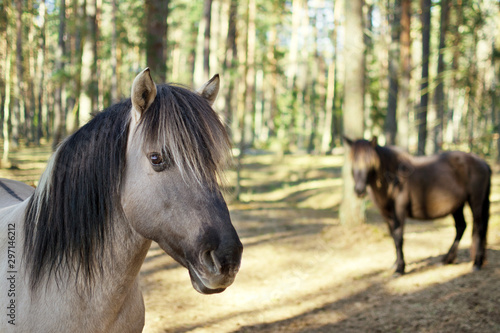 Close up portrait of semi-wild konik polski horse in the forest at sunny spring day