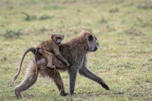 Baby Baboon Riding On Its Moth...