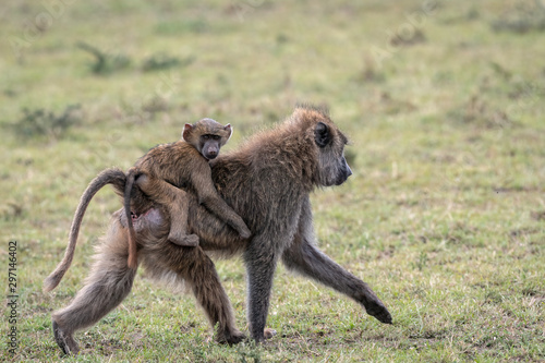 Baby baboon riding on its mother's back, staring straight at the camera Canvas Print