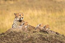 Mother Cheetah Lying On A Larg...
