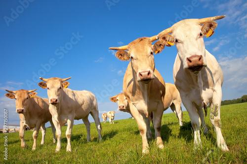 Vache de arce à viande sur paysage de campagne Fotobehang