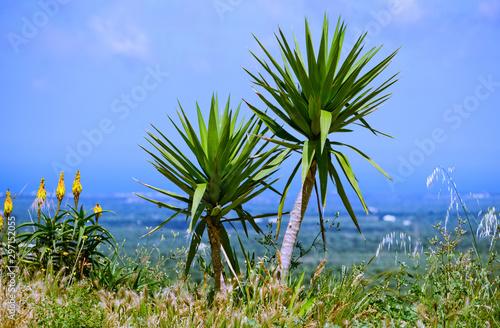 Photo Dracaena or Dragon tree (lat