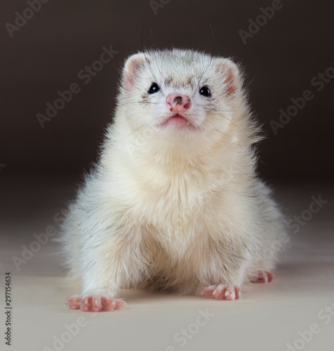 Silver ferret in studio Fototapet