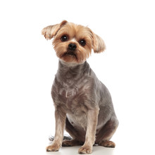 Adorable Yorkshire Terrier Looking Up On White Background