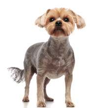 Cute Yorkshire Terrier Looking Up On White Background